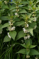 dead nettle herb blossoming