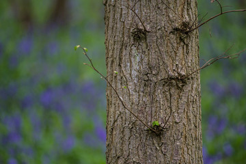 Tree in a Bluebell Woods