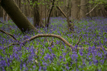 Bluebell Forest Floor