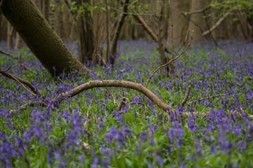 Bluebell Forest Floor