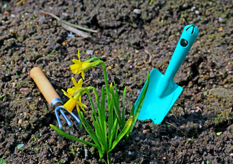 Flowers yellow daffodils and garden tools