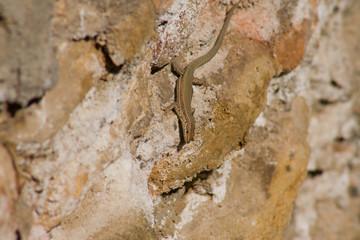 Darro river lizard
