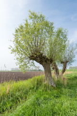 Agricultural landscape with three pollard willows