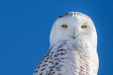 Snowy Owl - Portrait Set Against Blue Sky