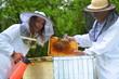 Pszczelarze pracujący w pasiece w okresie wiosennym
