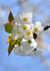 Blossoming branch of sweet cherry