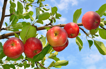 Red apples grows on a branch among the green foliage