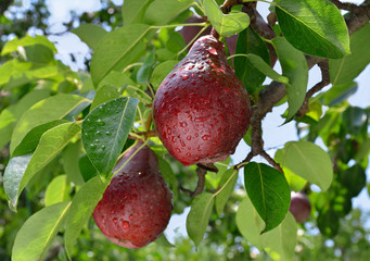 Ripe red pear grows on a branch