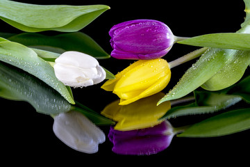 Beautiful spring tulips purple yellow and white