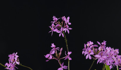 Pink orchid and branch isolated on black background