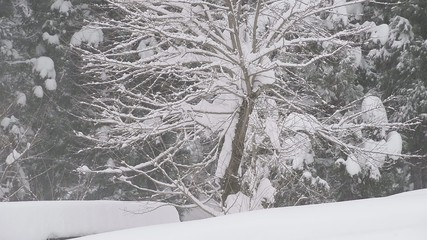 Snow falling on the tree,in Toyama,Japan