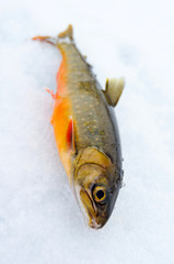 Arctic trout on the ice