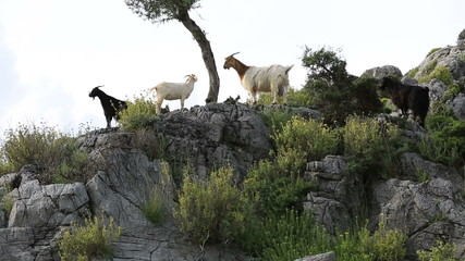 mountain goat flock feeding in nature