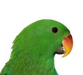 Grüner Edelpapagei