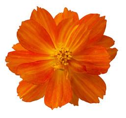 dahlias fleur orange