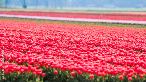 Aluminium Tulips an fields in spring in the Netherlands.