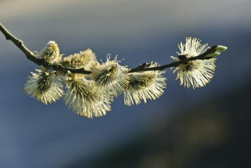 Flowering willow on bare twig in the spring.