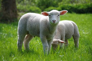 Lamm (Schaf) auf Weide