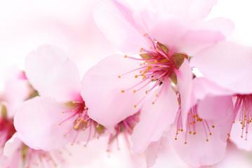 Die zarten Blüten der Kirsche