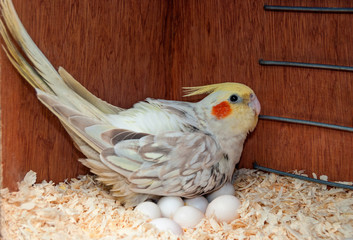 Cockatiel with eggs