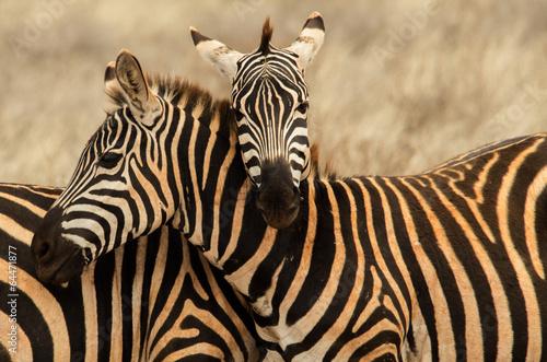 Foto op Plexiglas Zebra Abbraccio tra zebre