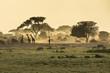 Silhouette di giraffe - 64472028