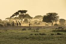 "Постер, картина, фотообои ""Silhouette di giraffe"""