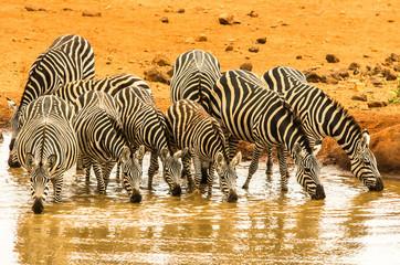 Abbeveramento zebre