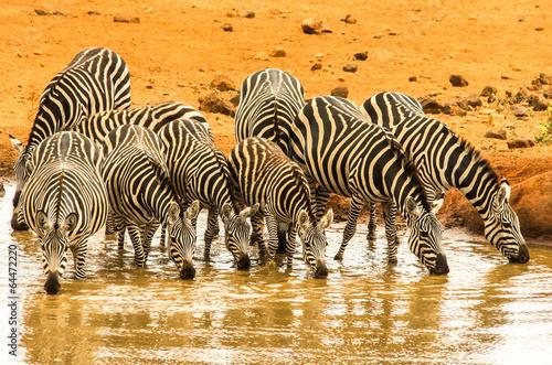Papiers peints Zebra Abbeveramento zebre