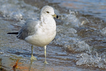 Ring Billed seagull walking along the shoreline