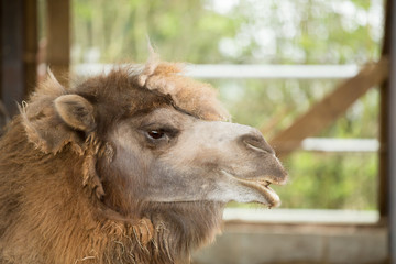 Camel native to Asia