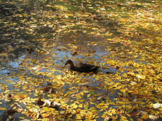 秋の池と鴨
