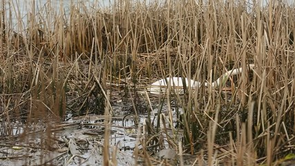 Swan in Marsh Nest Building