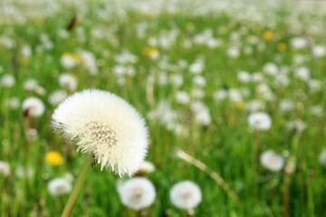 wiese mit pusteblumen