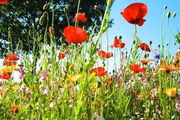 Wildblumenwiese in voller Blüte