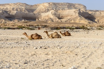 Sitting dromedaries in canyon Ash Shuwaymiyyah (Oman)