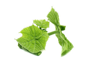 Medicinal Olatkamba leaf