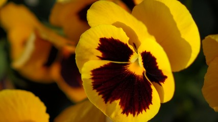 Close up of some yellow pansy ( Viola x wittrockiana ) flowers