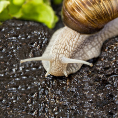 Burgundy snail in a garden after rain