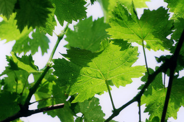 Grape vine leafs with rain drops