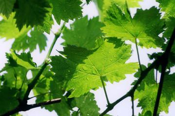 Grape vine leafs with rain drops