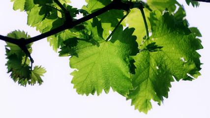 Grape vine leaf with rain drops on the leaves