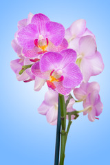 pink orchid on blue background