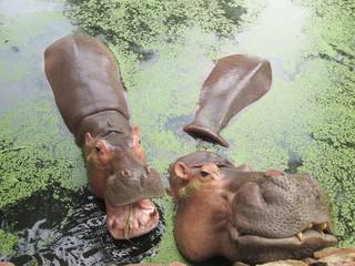 Hippo portrait in the nature