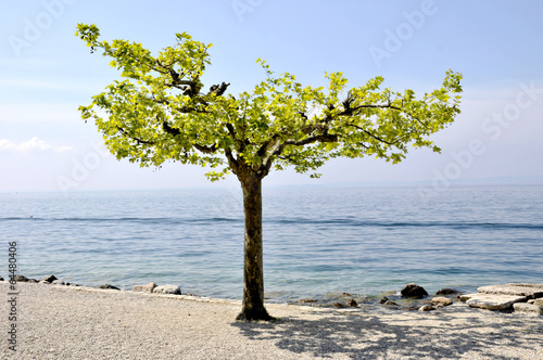 canvas print picture Baum am Gardesee