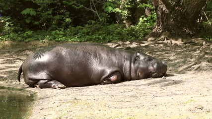 hippopotamus sleeping