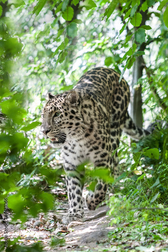 Fotobehang Luipaard amur leopard