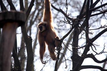 An Ast hängender Gibbon