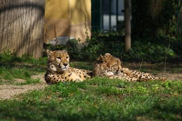Geparden beim Sonnenbaden