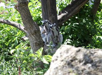 Auf Bäumen sitzende Kattas